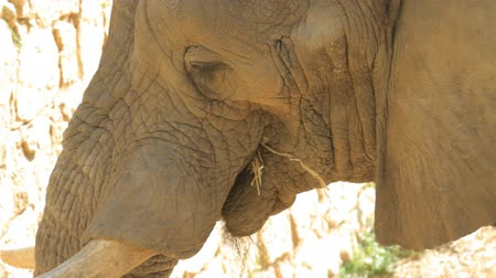 large ears : Elephant eating in the safari. Israel