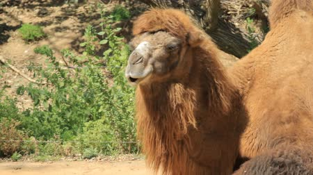 memeli : Camel in safari. Israel Stok Video