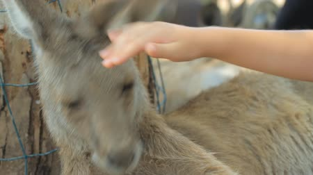 kürk : Child petting a kangaroo in Gan Guru in Israel