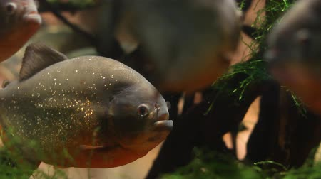 plavání : Piranhas swimming in a fish tank