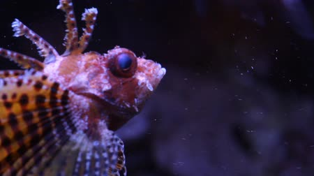 korallenfisch : Scorpion fish unterwasser Videos