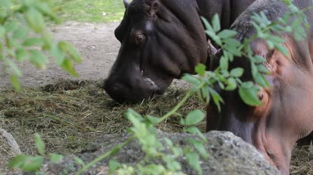 dizi : Close-up of a hippo eats in zoo