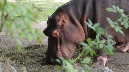 pastar : Close-up of a hippo eats in zoo