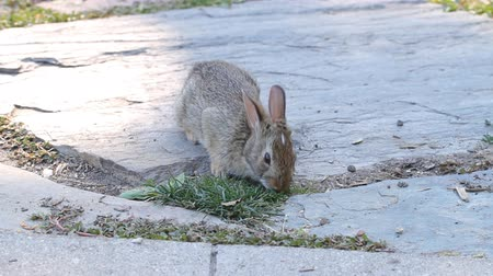 nyuszi : Young rabbit eating grass in the garden