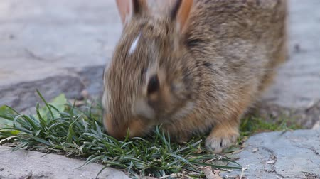 coelho : Young rabbit eating grass in the garden