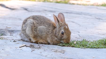 temor : Young rabbit eating grass in the garden