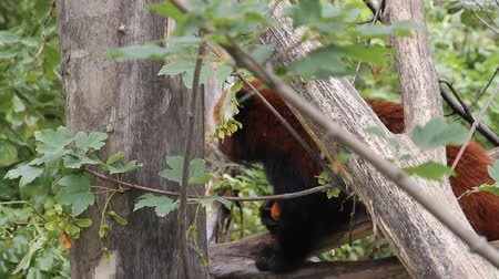 pawed mammal : Red Panda eating on the tree Stock Footage