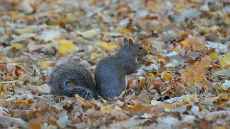 žalud : Squirrel in the park finds and eats acorns in autumn. Dostupné videozáznamy