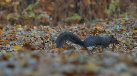 kürk : Squirrel in the park finds and eats acorns in autumn. Stok Video