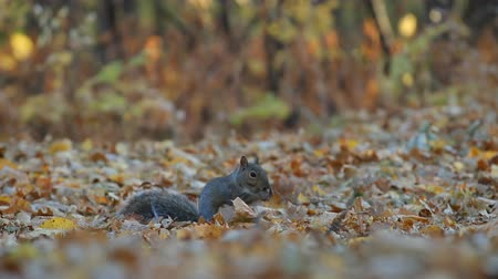 roedor : Squirrel in the park finds and eats acorns in autumn. Vídeos