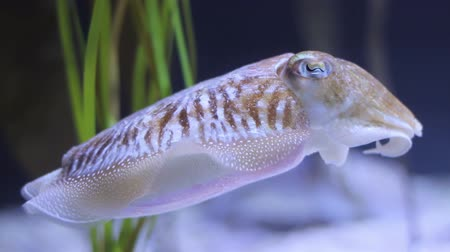 kalmar : Cuttlefish swimming at night Dostupné videozáznamy