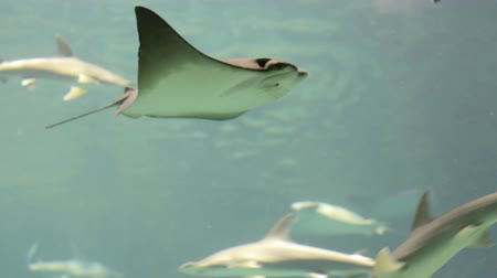 bezmotorové létání : Manta Ray swimming in aquarium