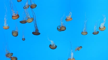 czerwone tło : Jellyfish swimming in aquarium