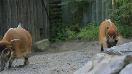 schweinshaxe : Red River Hog in Toronto Zoo Videos