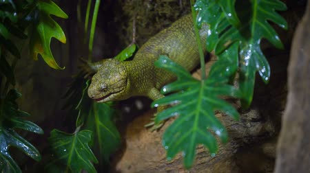 surat : Solomon Island monkey-tailed skink Stock Footage