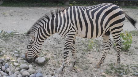 cauda : African zebra in zoo eats and shakes her tail