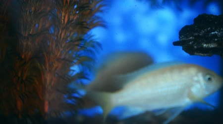 fish eye : Aquarium fish cichlids in a close-up aquarium Stock Footage