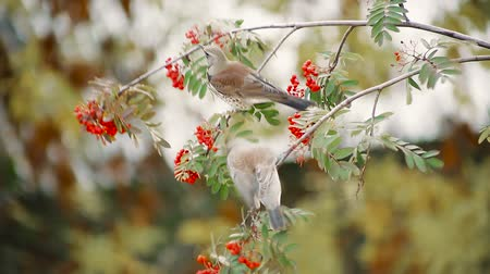 üvez ağacı : Thrushes on a branch eat rowan berries