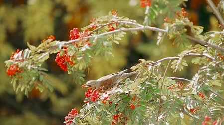 skok : Thrushes on a branch eat rowan berries
