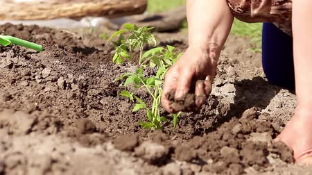 žalud : Woman close up on hand planting tomato seedling in her garden. Child help water. Dostupné videozáznamy