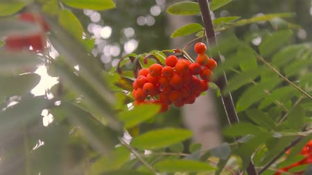 mürver : Branches of the elderly with berries against foliage in the summer Stok Video