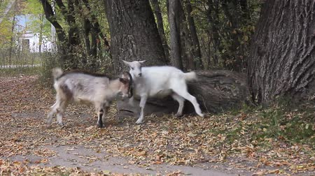 billy goat : Two goats fight on the forest