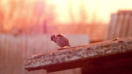 telha : Sparrow sitting on the roof top.
