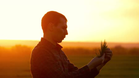 agronomist : Farmer in a field holding and examining crop in his hands at sunset. Young farmer in a field examining wheat crop at sunset.