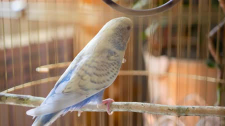 papagaio : Male blue budgerigar in the cage.