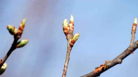 oak : Macro video of young green buds on a tree.