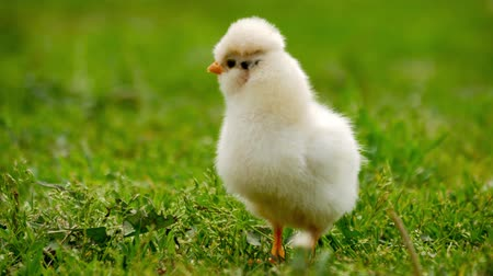 pintinho : Close up newborn yellow chicken on the grass field on green background. Easter concept.
