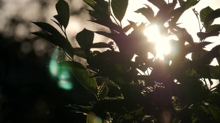 üfleme : Green leaves are highlighted by sun. Beautiful natural green sunshine bokeh background. Blurry fresh summer foliage of maple trees in backlight of sunset cozy shining sun with sunflares and sunbeams.