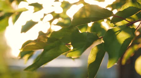 Through the beautiful green leaves of a tree the sun breaks. Stock Footage