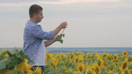 agrarian : Rancher man in sunflower field. Satisfied farmer in a sunflowers field looking at sunflower seeds.