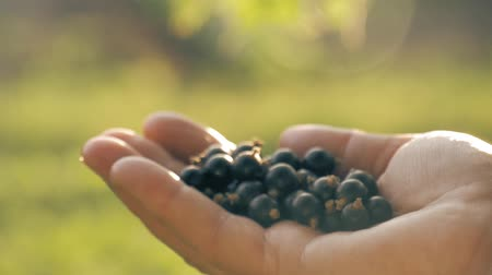 смородина : Farmer hand full of organic black currant berries. Black currant harvest. Стоковые видеозаписи