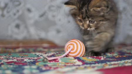 kittens playing : Cute gray kitten plays on carpet at home. Stock Footage