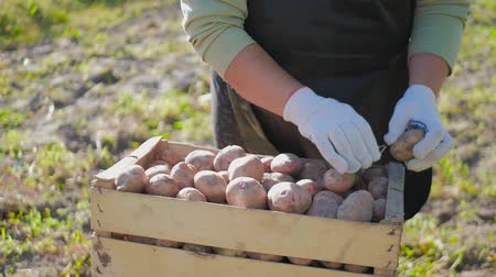 colhida : Adult woman farmer collects and sorts fresh potatoes into wooden box. Harvest of young potatoes is harvested in garden. The concept of ecological food and vegetarianism.