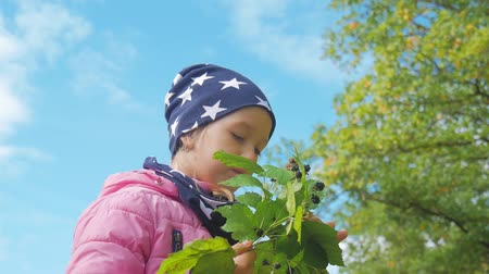 földi szeder : Little girl eating blackberries in forest in the autumn.