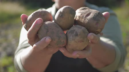 ポテト : The farmer holding potatoes. Healthy food with vitamins. Fresh and organic food. Concept of vegetarians, organic and natural product.