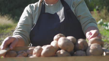 vegetarianismo : Adult woman farmer collects and sorts fresh potatoes into wooden box. Harvest of young potatoes is harvested in garden. The concept of ecological food and vegetarianism.