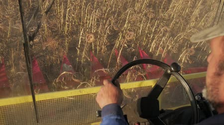 コンバイン : Man driving a combine and harvesting the sunflower.