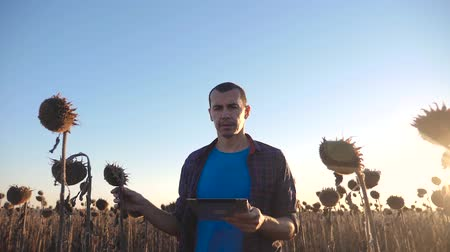 mezőgazdasági : Farmer agronomist holds tablet touch pad computer in the sunflower field and examining crops before harvesting. Agribusiness concept. Agricultural engineer is walking along a sunflower field.