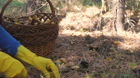 boletus edulis : Wicker basket full of various kinds of mushrooms in a forest. Stock Footage