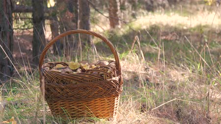 botanik : Wicker basket full of various kinds of mushrooms in a forest. Stok Video