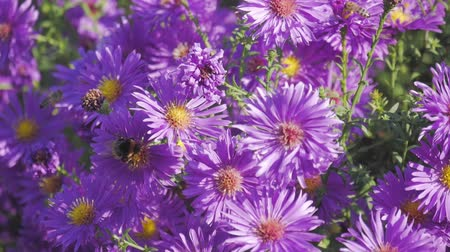 bouquets : purple flowers in wild nature Stock Footage