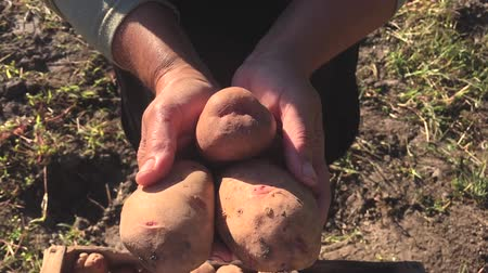 rolnik : Adult woman farmer collects and sorts fresh potatoes into wooden box. Harvest of young potatoes is harvested in garden. The concept of ecological food and vegetarianism.