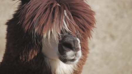 andy : Lama looks into the camera. Funny llama animal chews. Close up portrait.
