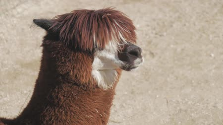 チリ : Lama looks into the camera. Funny llama animal chews. Close up portrait.