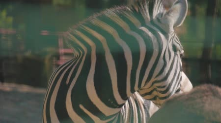 zebra : Portrait of a zebra at the zoo.