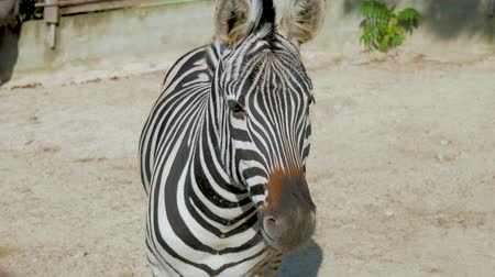plain : Portrait of a zebra at the zoo.